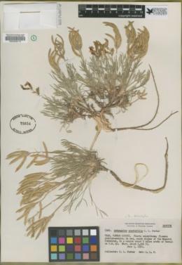 Astragalus spectabilis image