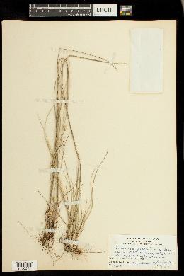 Cenchrus gracillimus image