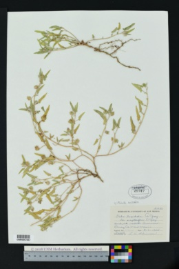 Malvella sagittifolia image