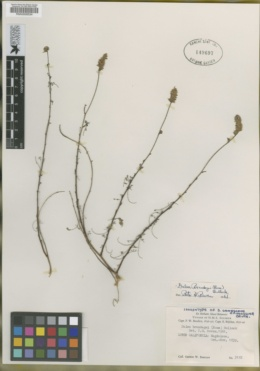Image of Dalea brandegei
