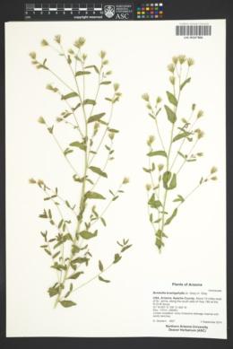 Brickellia brachyphylla image