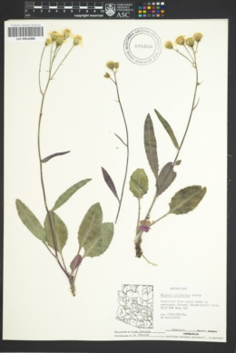Senecio arizonicus image