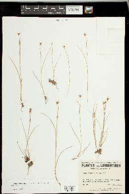 Rhynchospora alba image