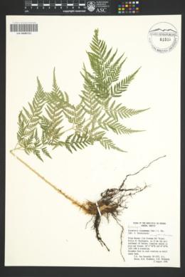 Dryopteris knoblochii image