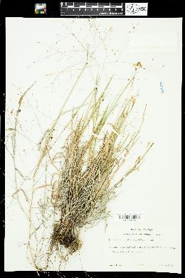 Digitaria cognata image