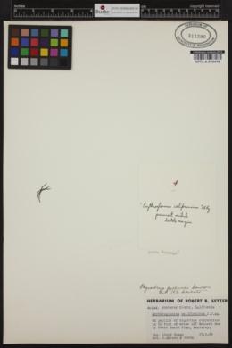 Erythroglossum californicum image
