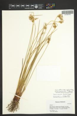 Juncus effusus subsp. austrocalifornicus image