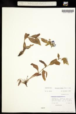Image of Mertensia alpina