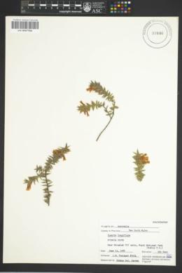 Epacris longiflora image