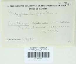 Platygloea decipiens image
