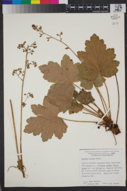 Image of Heuchera maxima