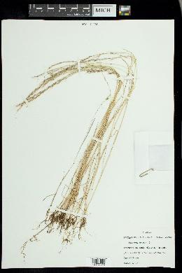 Vulpia myuros image