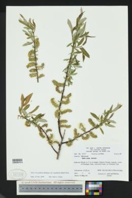 Salix ligulifolia image