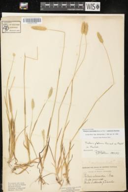 Phalaris platensis image