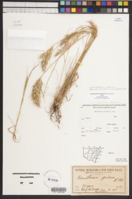 Image of Austrodanthonia setacea