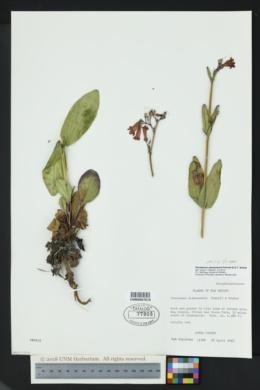 Image of Penstemon alamosensis