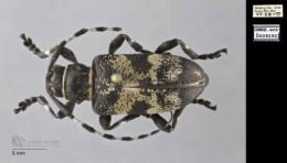 Image of Coenopoeus palmeri