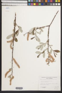 Image of Salix sitchensis