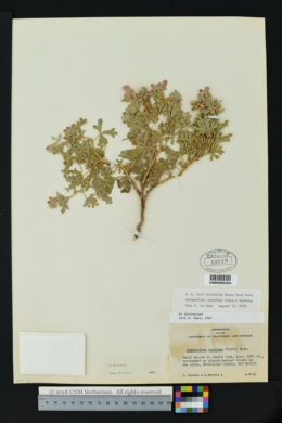 Sphaeralcea coccinea image
