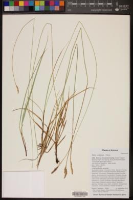Carex curatorum image