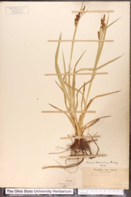 Carex shortiana image