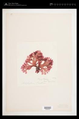 Erythroglossum laciniatum image