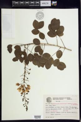 Image of Chamaecrista brevicalyx