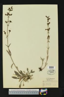 Image of Penstemon collinus