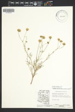 Chaenactis carphoclinia image