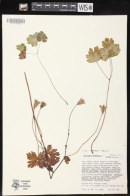 Aquilegia canadensis image