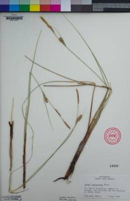 Image of Carex lasiocarpa