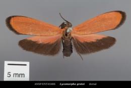 Lycomorpha grotei image