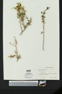 Lycium torreyi image