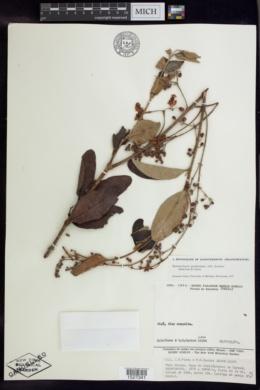 Banisteriopsis gardneriana image