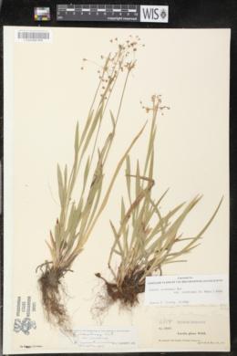 Luzula acuminata var. carolinae image
