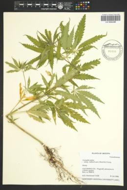 Cannabis sativa subsp. indica image