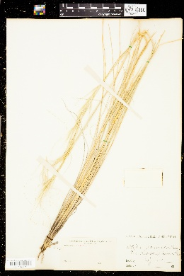 Image of Stipa pennata