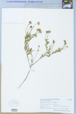 Aphanostephus ramosissimus image
