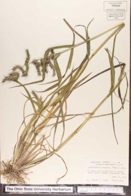 Echinochloa muricata image