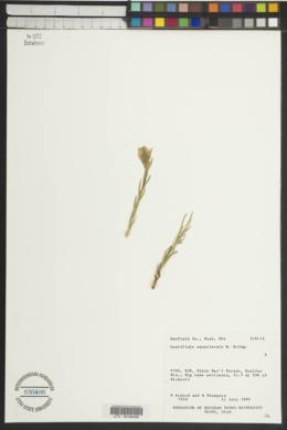 Castilleja aquariensis image