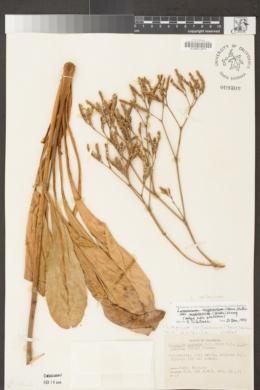 Limonium californicum image