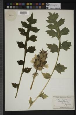 Acanthus hungaricus image