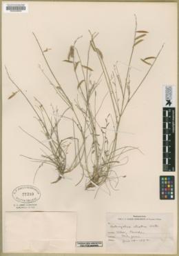 Astragalus atratus image
