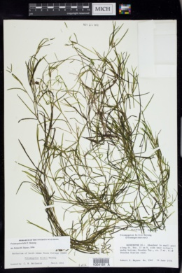 Image of Potamogeton hillii