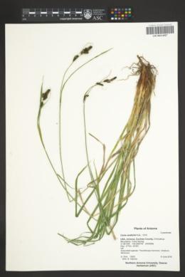Carex endlichii image