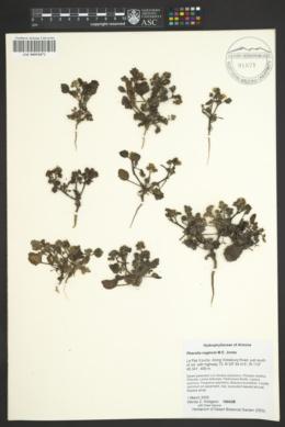 Phacelia neglecta image