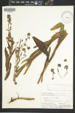 Cynoglossum creticum image