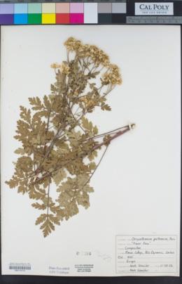 Tanacetum parthenium image