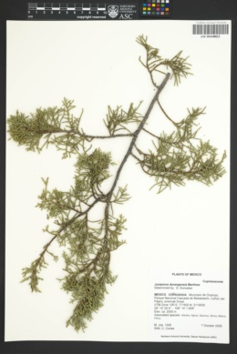 Image of Juniperus durangensis