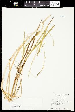 Glyceria acutiflora image